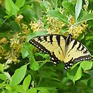 Eastern Tiger Swallowtail by William Brennan