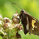 Silver-spotted Skipper by William Brennan