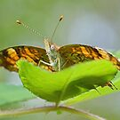 Pearl Crescent by William Brennan