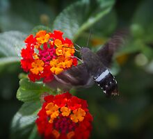 Hummingbird Moth #2 by Paul Danger Kile