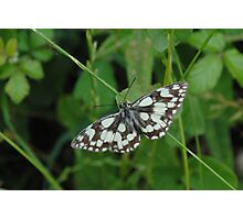 Marbled White... Photographic Print