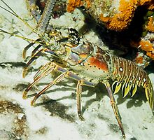 Caribbean Reef Lobster showing its beautiful colors  by Amy McDaniel