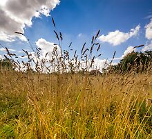 Golden Meadow Blue Sky by StephenRphoto