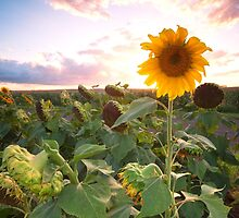 Sunflowers in a field in the afternoon. by Rob D