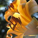 """Lily """"Golden Splendor"""" by Pat Yager"""