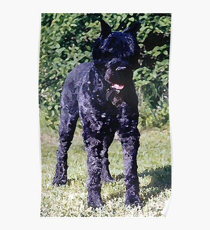 Bouvier Des Flandres Dog Portrait  Poster
