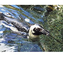 honolulu penguin Photographic Print
