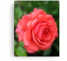 Dreamy Blush Pink Miniature Rose Canvas Print
