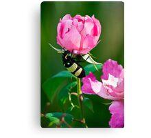 CMR Bean Beetle Canvas Print