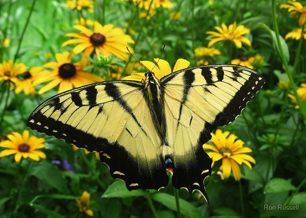 Yellow Swallowtail in a Blackeyed Susan Bouquet by Ron Russell