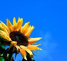 Sun Flower by Paul Berry