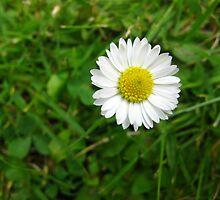 Daisy Five by Yvonne Carsley