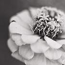 zinnia by Carina Potts