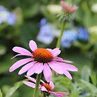 Echinacea by MimiB