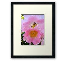 Governor Generals Roses 31 Framed Print
