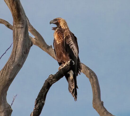 King Of  The Sky  Wedge Tailed Eagle Canberra  by Kym Bradley