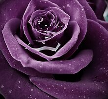 Purple Rose I by CarlaSophia