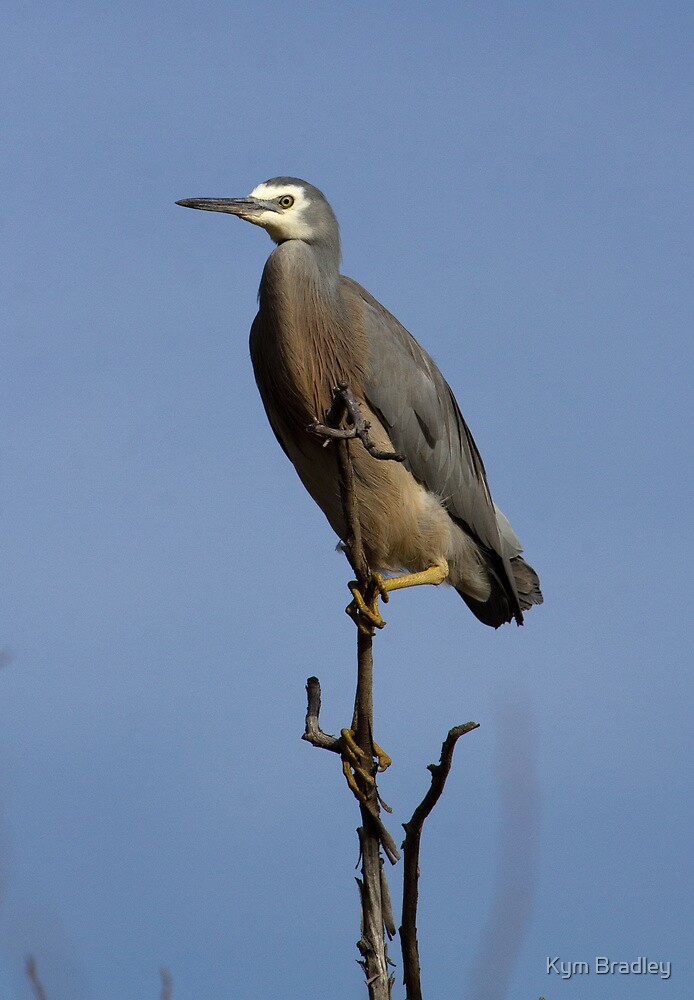 Standing Tall White Face Heron Canberra  by Kym Bradley