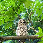 Barred Owl july25 by Randy Giesbrecht