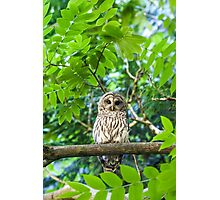 Barred Owl july25 Photographic Print