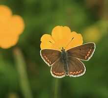 Brown argus butterfly collecting nectar in a wild flower meadow by miradorpictures