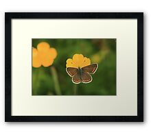 Brown argus butterfly collecting nectar in a wild flower meadow Framed Print