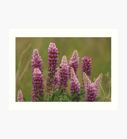 Lupin attracting the bees Art Print