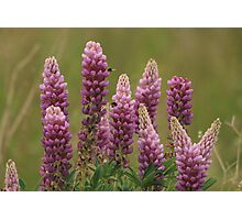 Lupin attracting the bees Photographic Print