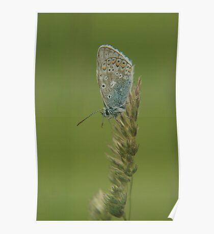 A holly blue butterfly waiting for the sun Poster