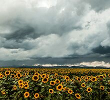 Rocky Mountain Sunflowers by Gregory J Summers