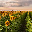 Sunflower Soldiers and A Colorado Rockies Storm by Greg Summers
