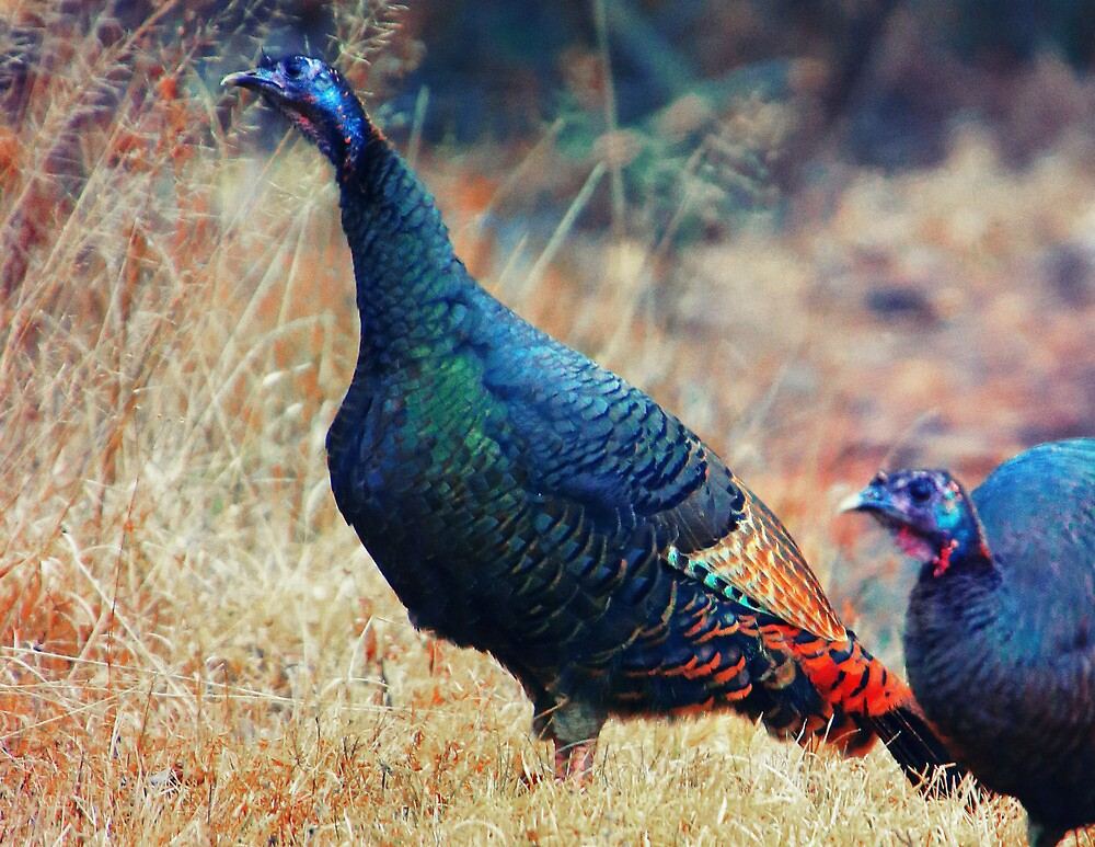 Wild Turkeys Scratching out a Living by Nazareth