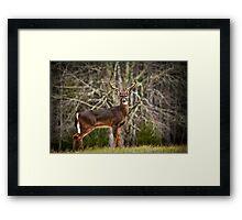 White Tailed Deer Eight Point Buck Framed Print