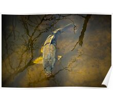 Carp feeding in the shallows Poster