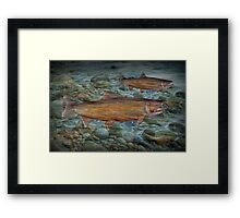 Steelhead Trout Migration in Fall Framed Print