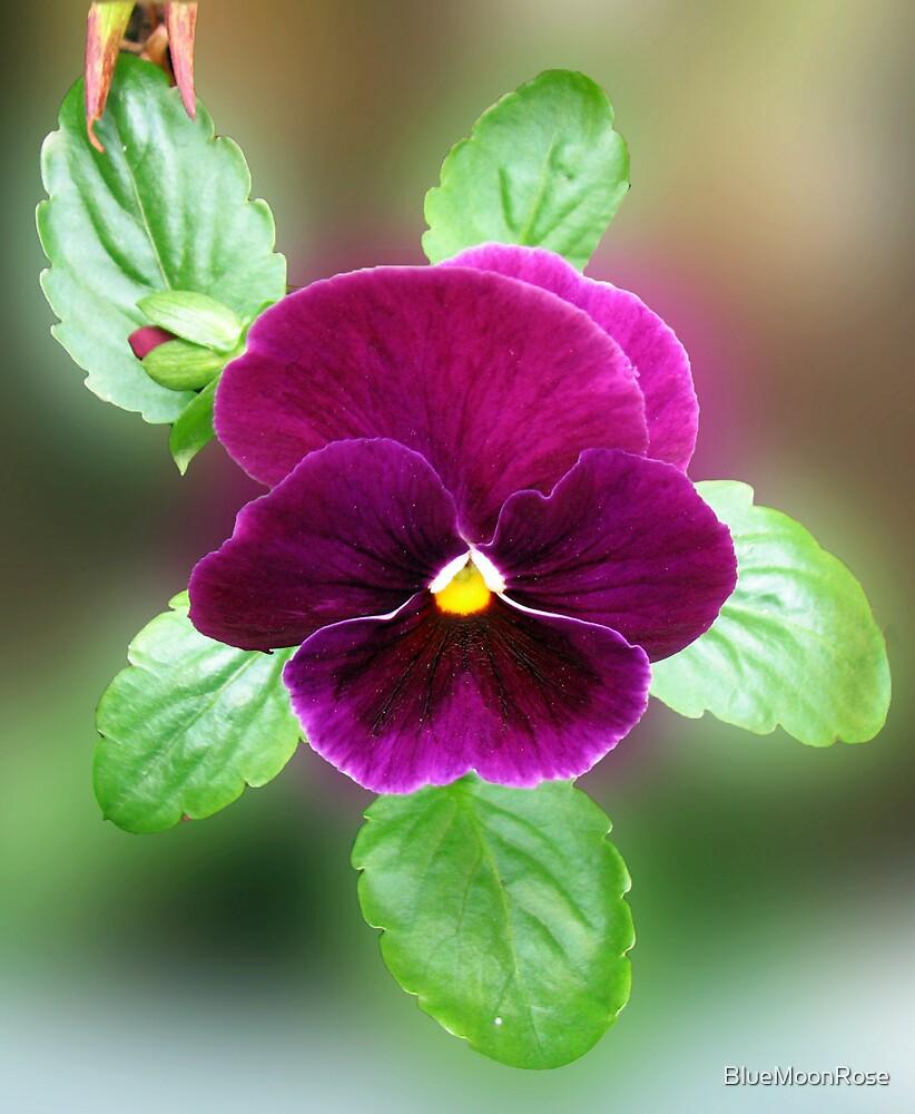 Do you like my velvet dress? Pretty Purple Pansy by BlueMoonRose