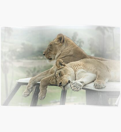 Sleeping Lions Poster