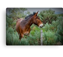 Mule in Wyoming Canvas Print