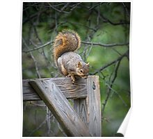 Fox Squirrel on a fence Poster