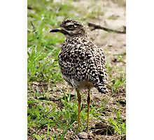 Spotted Thick-knee  Photographic Print