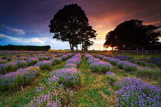 The Lavender Field by Jeanie