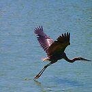 Great Blue Heron - In Flight by Tony Wilder
