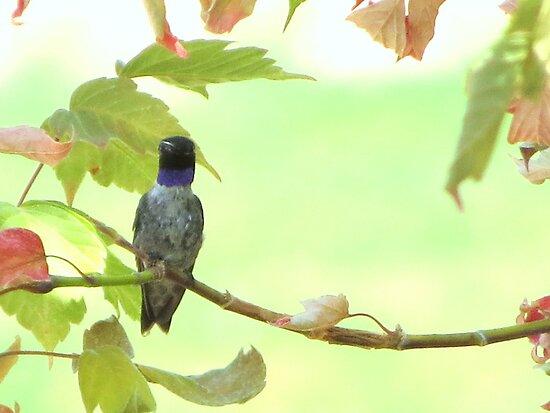 Perched Hummingbird by trueblvr