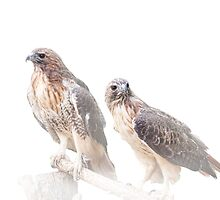 Pair of Red-tail Hawks on White by Randall Nyhof