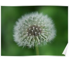 A Dandelion also known as The Lion's Tooth Poster