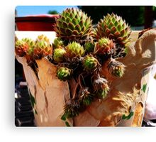 Hens and chicks in a broken pot Canvas Print