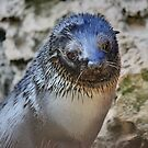 Fur Seal by Paul Tait
