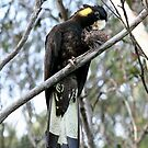 Yellow-tailed Black Cockatoo by SharronS
