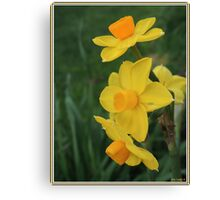 Winter Daffodil Canvas Print