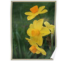 Winter Daffodil Poster